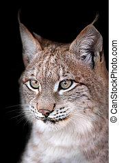 Beautiful lynx portrait