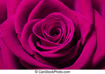Beautiful magenta rose - Close up image of beautiful magenta...