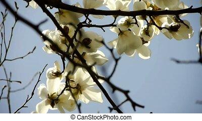 Beautiful magnolia bloom in sunshin