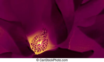 Beautiful magnolia bloom Kaleidoscope.