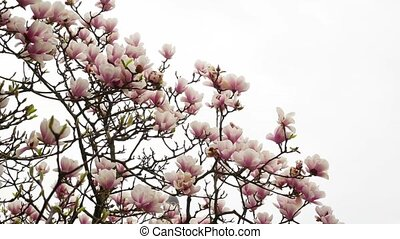 Beautiful Magnolia pink flowering