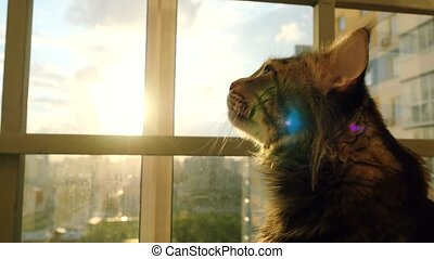 beautiful maine coon cat sitting on the window watch sunset....