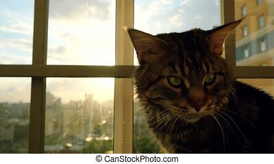 beautiful maine coon cat sitting on the window watch sunset