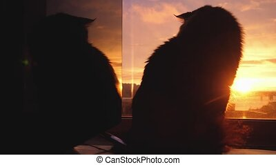 Beautiful Maine Coon cat to sit on the window watch sunlight...