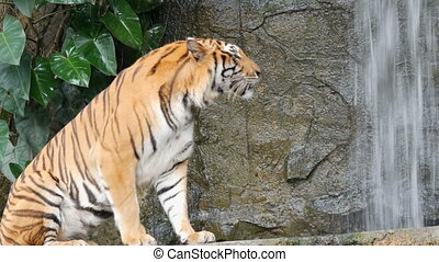 Beautiful majestic tiger on the background of picturesque...
