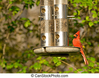 Beautiful male cardinal perched on a bird feeder.