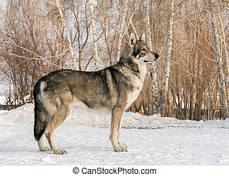 Beautiful male dog of Saarloos wolfhound in winter park