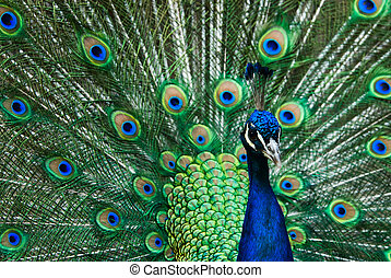 beautiful male indian peacock showing its feathers (Pavo...