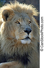 Beautiful male lion
