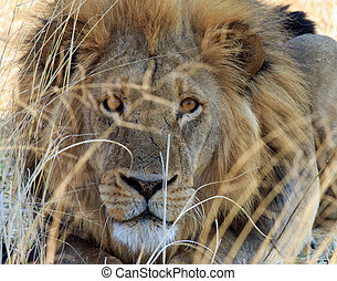 Beautiful Male Lion looking through a few strands of dry grass in Hwange National Park, Zimbabwe