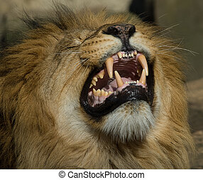 beautiful male lion showing its teeth