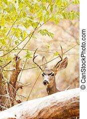 Beautiful Male Mule Deer in Woods