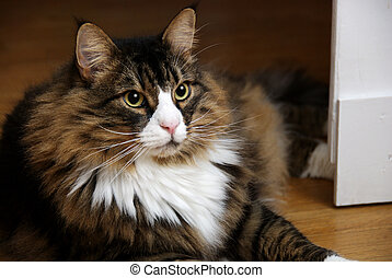 A.v.E., a beautiful male Norwegian Forest Cat lying on wooden floor. The cat has a white nose and V-neck and wide eyes