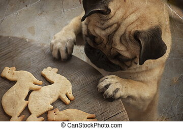 Beautiful male Pug puppy truing to get cookies in shape of a...