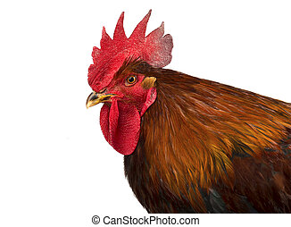 Beautiful male rooster isolated on white background.