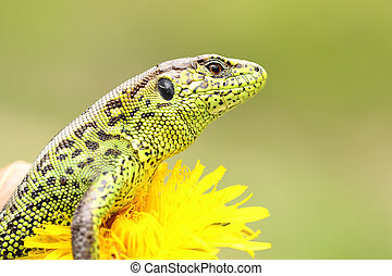 beautiful male sand lizard closeup ( Lacerta agilis ),...
