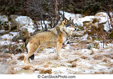 Beautiful male wolf standing in the forest looking for enemies