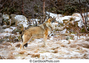 Beautiful male wolf standing in the forest looking for prey