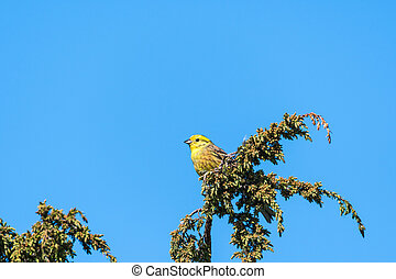 Beautiful male Yellowhammer