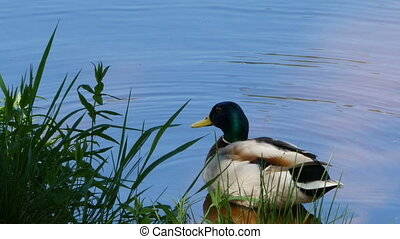 beautiful mallard drake basks in the sun and brushes feathers close to