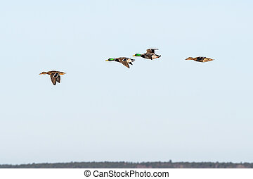 Beautiful Mallards flying in a line