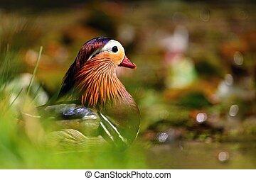 Beautiful mandarin ducks. Animals in the wild. Natural ...