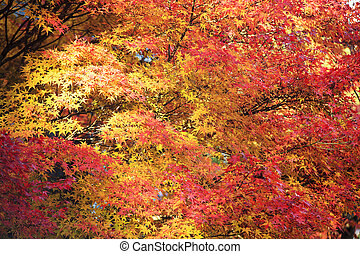 Beautiful maple in the fall