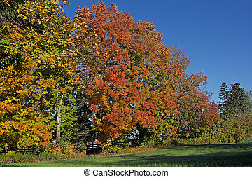 Beautiful maple trees in the fall