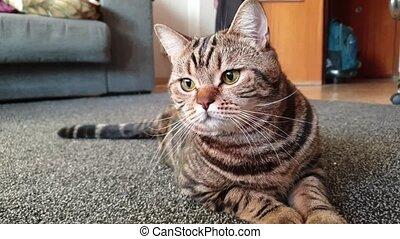 British cat lies on the carpet - beautiful marble British ...