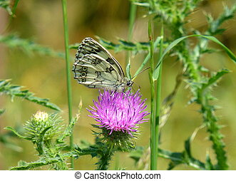 Beautiful marbled white butterfly sitting on a pink flower