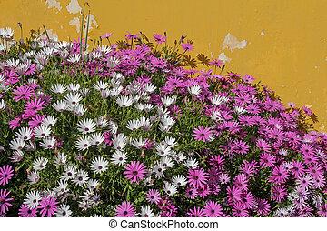 beautiful margaret flowers