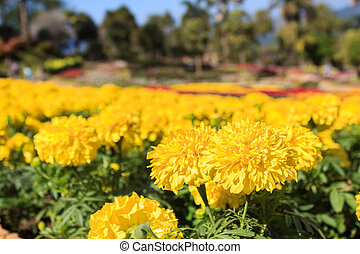 Beautiful marigold flowers in garden of Doi Tung Royal...
