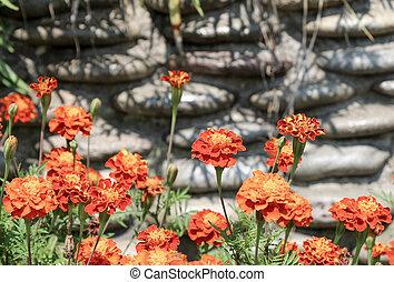 Beautiful Marigold flowers in nature