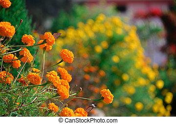 Beautiful marigold flowers in the garden