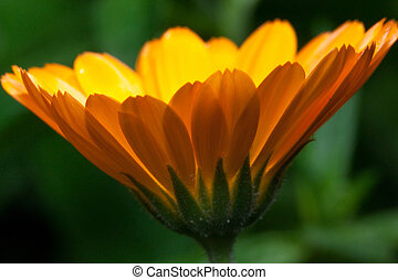 Beautiful marigold is growing on a green meadow. Live nature.