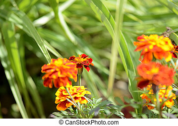 Beautiful marigolds bloom in the summer garden on a sunny day.