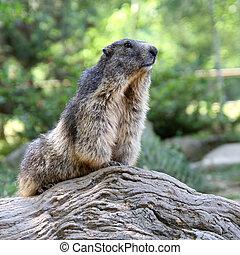 beautiful marmot