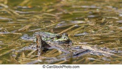 Beautiful marsh frog on pond, European wildlife - Beautiful...