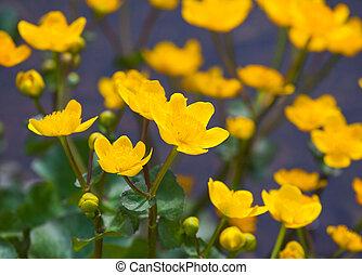 beautiful marsh marigold flowers in nature