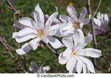 Beautiful mauve magnolia in park