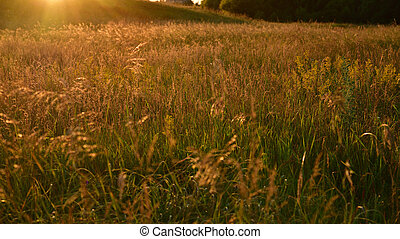 Beautiful meadow with wild oats at sunset in summer