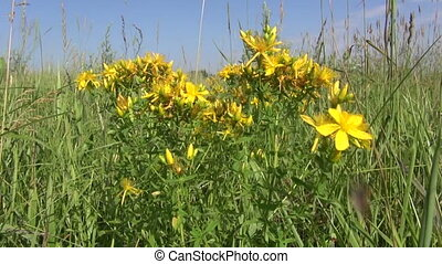 medical herb St Johns wort flower - beautiful medical herb...
