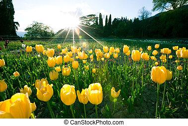 Beautiful mesmerizing field with yellow tulips