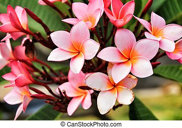 Mexican Plumeria flowers in the garden