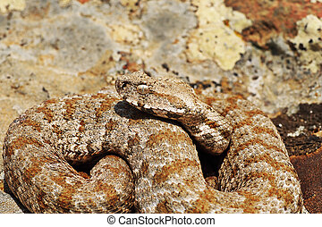 beautiful Milos viper closeup