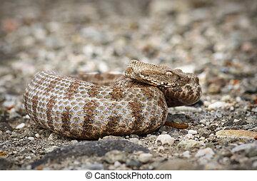 beautiful Milos viper