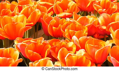 Beautiful mix of bright large orange red tulips in the world...