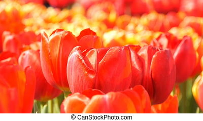 Beautiful mix of bright large orange red tulips in the world famous royal park Keukenhof. Tulip field close up view Netherlands, Holland