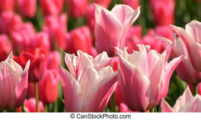 Beautiful mix of bright pink and white tulips in the world...