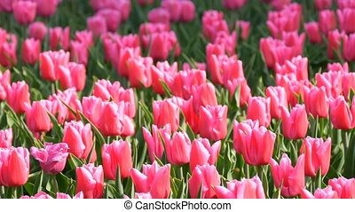 Beautiful mix of bright pink and white tulips in the world famous royal park Keukenhof. Tulip field close up view Netherlands, Holland